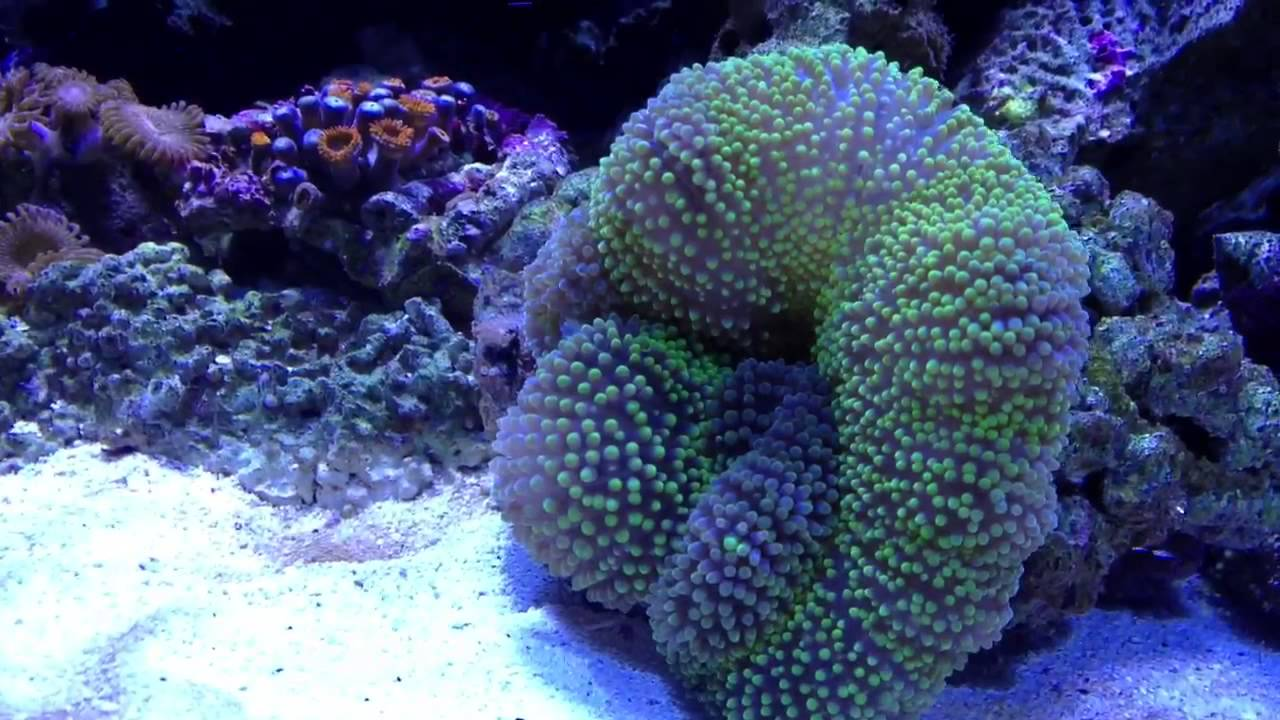 Carpet Anemone Eating Silverside Youtube