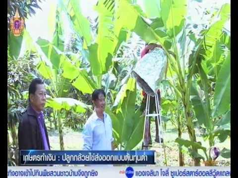 เกษตรทำเงิน#เทคนิคปลูกกล้วยไข่ส่งออก