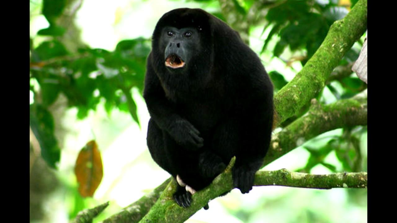 singe hurleur de guyane