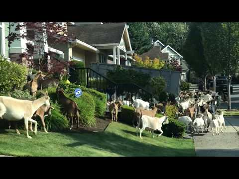 Zann - Goats Escape Enclosure and Run Through Neighborhood