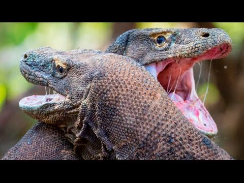 Epic Fight Between Two Komodo Dragons