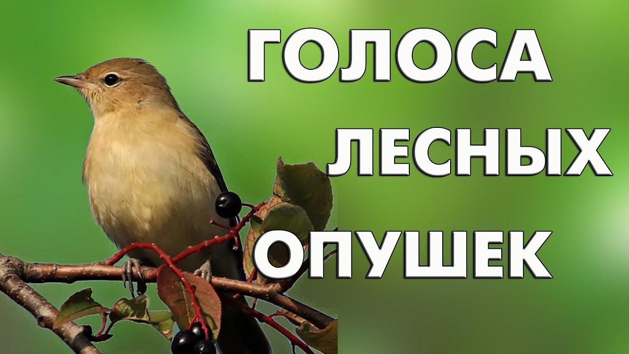 Голоса лесных опушек (16 голосов) / Мини-определитель #ГолосаПтиц