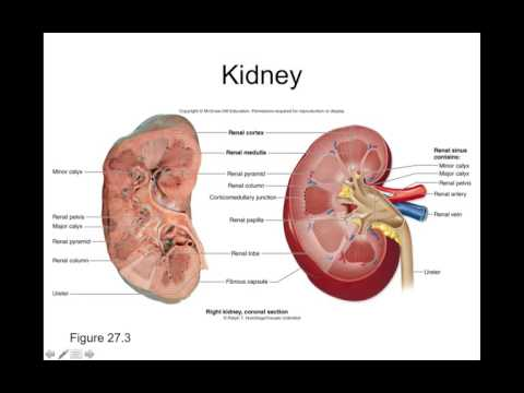 Chapter 27 Urinary System Part1 YouTube