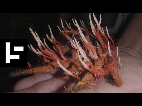 Cordyceps: Attack Of The Zombie Fungus