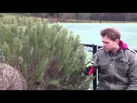 Plant ID guide - Rosemary (rosmarinus officinalis)