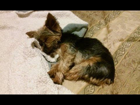 yorkie-makes-her-our-bed