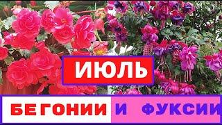 Красавицы БЕГОНИИ и ФУКСИИ в моем саду.