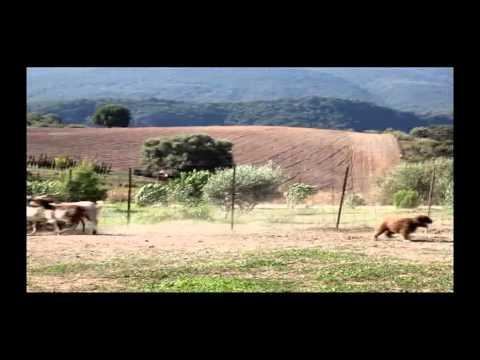 [Perro de Agua Espanol, Spanish Water Dog Agility Working Demo]