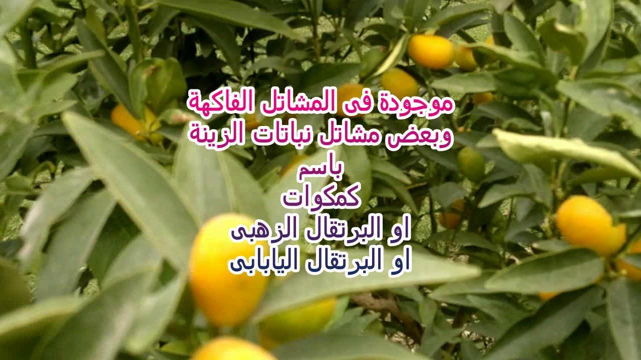 تعرف على فاكهة الكمكوات او البرتقال اليابانى Youtube