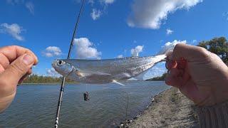 ОСЕННИЙ ЖОР ДОНСКОЙ ЧЕХОНИ Её столько что ловить надоело Уловистый фидер Рыбалка на реке Дон