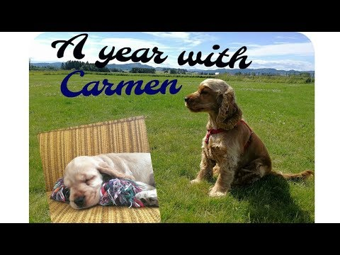 365 days with my cocker spaniel Carmen