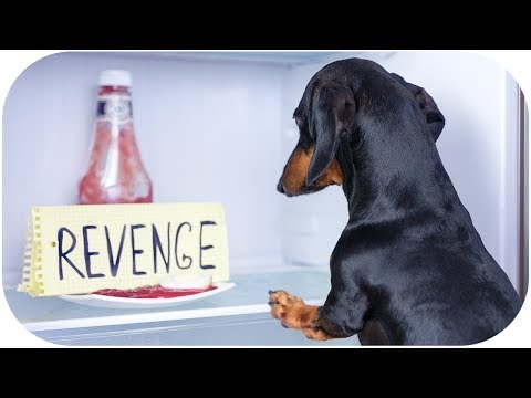 Fear of dachshund's revenge! Funny dog video!