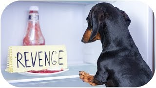 Fear of dachshund's revenge! Funny dog video!