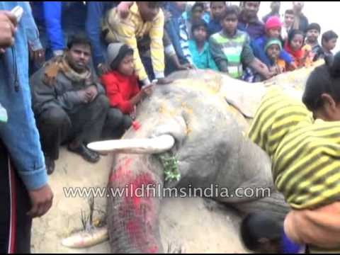 Elephant killed after being electrocuted in Bankura, West Bengal