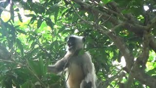 Angry Langur monkey Sounds For Kids