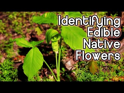 Identifying Spring Wildflowers  Foraging for Edible and Bushcraft Native Plants in the Eastern US