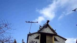 мои голуби 2 с Димы с Александровки