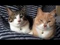 ♂猫だいずの便秘にロイヤルカナン消化器サポート(可溶性繊維)を与えています【猫日記こむぎ&だいず】201