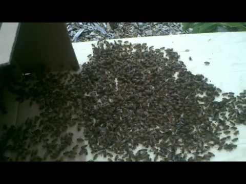 FREE HONEY BEES SWARM REMOVAL SEATTLE - TACOMA - KENT - EVERETT WASHINGTON STATE! CALL US NOW!