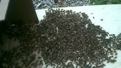 FREE HONEY BEES SWARM REMOVAL SEATTLE - TACOMA - KENT - EVERETT WASHINGTON STATE! CALL US NOW!