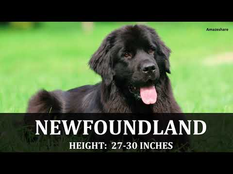 MOST BIGGEST DOG BREEDS IN THE WORLD