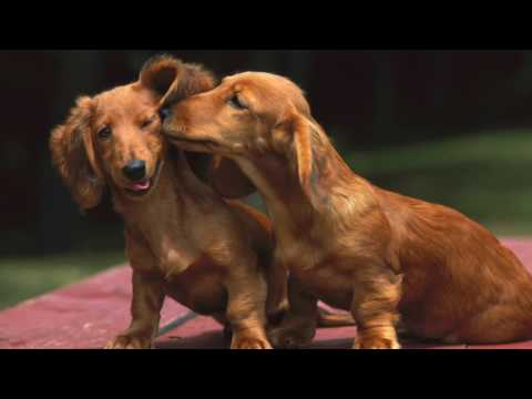 Dachshund Dog Breeds Information, Origin, History, Appearance, Temperament, Health
