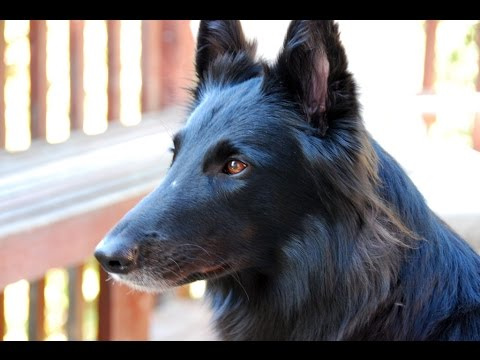 Belgian Shepherd Dog  Groenendael - Dog Breed