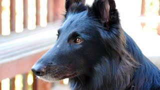Belgian Shepherd Dog  (Groenendael)