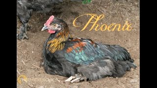 Phoenix. A Rooster