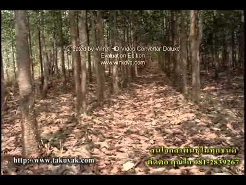 ยางนา สักทอง ปฏิบัติการคืนผืนป่าสู่แผ่นดินไทย ไปดูที่ทับยายเชียง