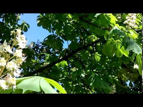 бадяга растение фото