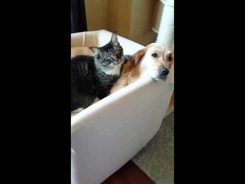 cuccioli amore puppy love golden retriever dog maine coon cat love each other