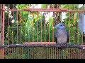 Langsung Nyaut Dan Ngayer Terapy Perkutut Lokal Ampuh Jadikan Kutut Ngayer  Mp3 - Mp4 Download