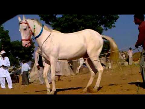 horse dance bablu rajput kannauj