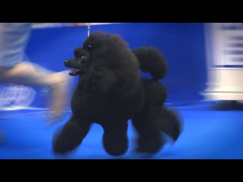 Manchester Dog show 2017 - Utility group - Shortlist