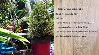 Baixar 🌱 Growing Rosemary Indoors - How to Not Kill Your Rosemary