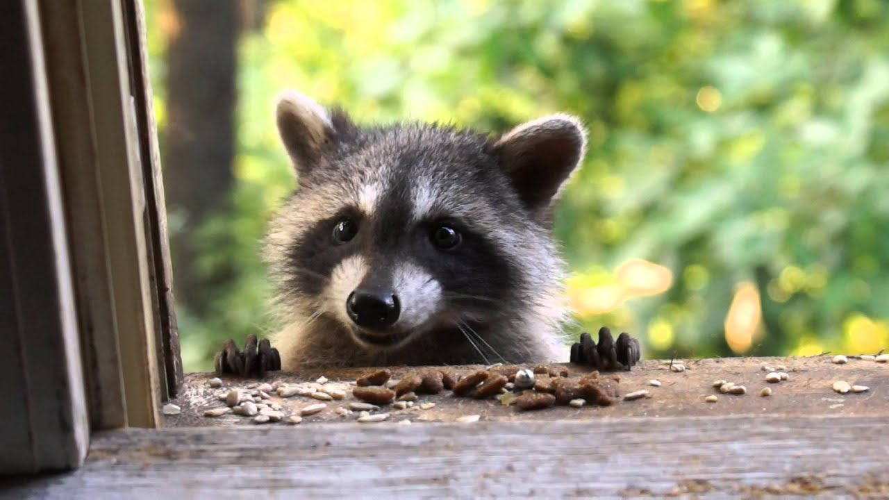 how to tell if a raccoon has babies