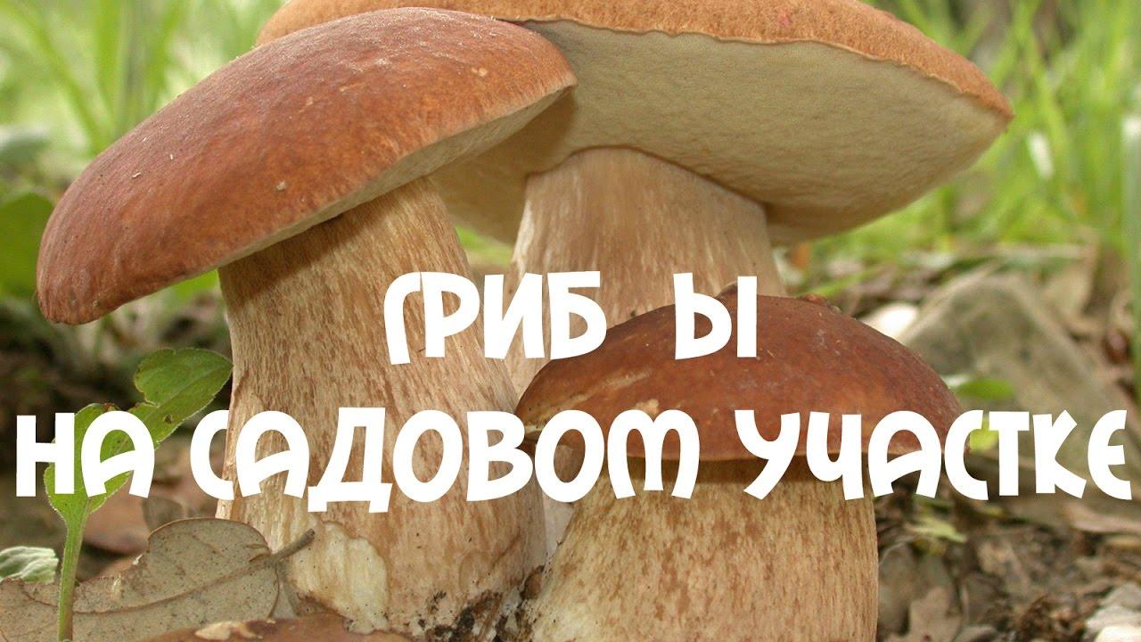 как вырастить грибы на садовом участке шампиньоны