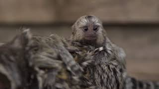 Symbio Wildlife Park Welcomes Super Cute New Marmoset Twins