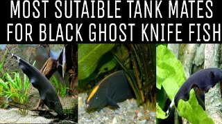 Tank Mates For Black Ghost Knife Fish