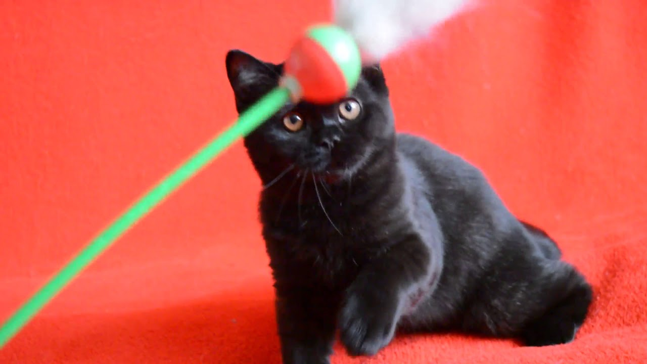 Купить шотландского котенка: предлагаем - Чистокровные клубные .