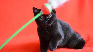Купить черного шотландского котенка. Предлагаем: шикарные черные шотландцы.