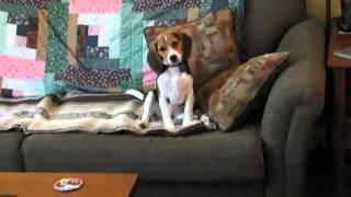 Beagle Puppy Howl