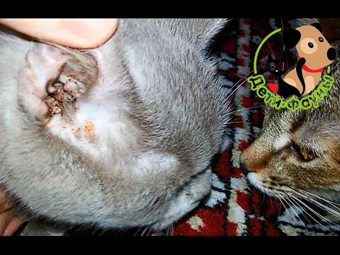 У кошки болят уши что делать в домашних условиях