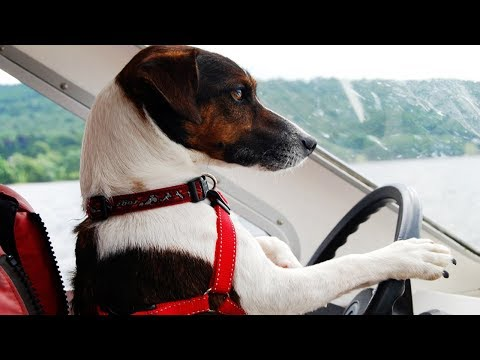 Top 10 Dog Breeds - Intelligent Dogs In The World