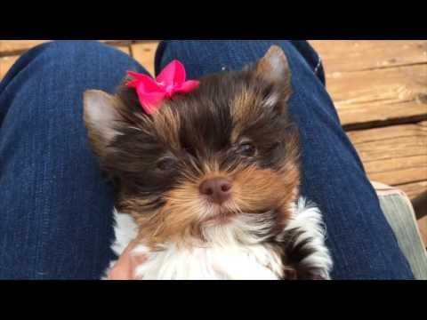 Rocky Mountain Biewer Terriers - Ms Emma - 10 Weeks
