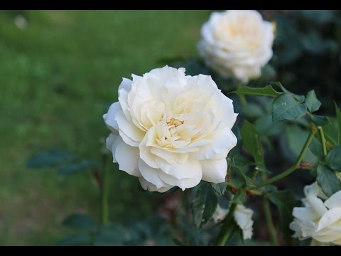Most beautiful white rose ever you seen youtube most beautiful white rose ever you seen mightylinksfo