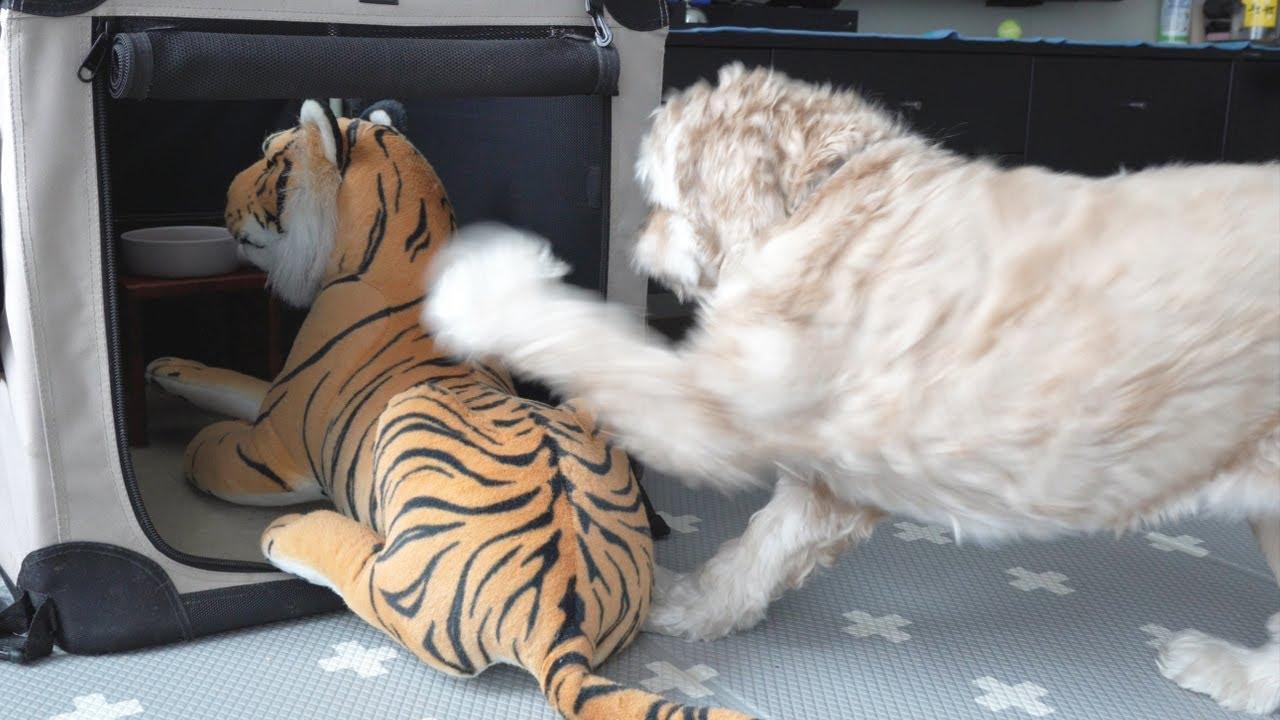 밥을 먹으려는데 호랑이가 기다리고 있었다 강아지의 반응