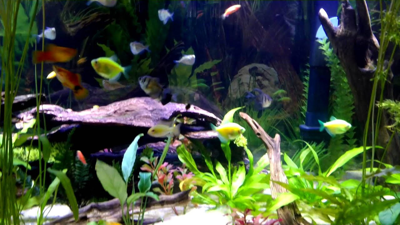 Freshwater aquarium fish tank pictures - Freshwater Aquarium Fish Tank Pictures