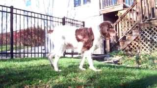 English Springer Spaniel:  Maessr Presents Nick